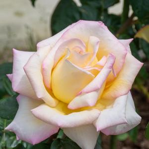 ピース:滋賀県湖西浄化センターで撮影したバラの花
