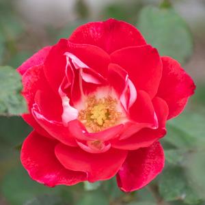 ピカソ:長居植物園で撮影したバラの花