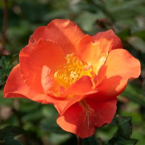 プリンセス・ミチコ:長居植物園で撮影したバラの花