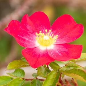 ロージー・カーペット:長居植物園で撮影したバラの花