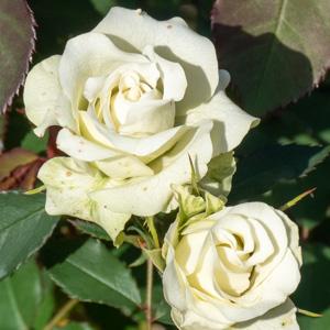 緑光/千鳥:花博記念公園鶴見緑地で撮影したバラの花