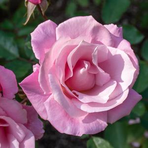 桜貝/サクラガイ:長居植物園で撮影したバラの花