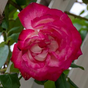 つる聖火:長居植物園で撮影したバラの花