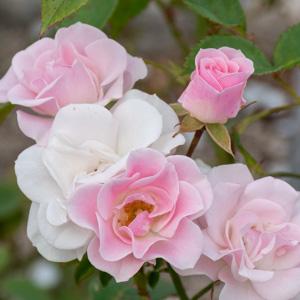 セレッソ:長居植物園で撮影したバラの花