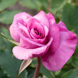 ショッキング・ブルー:長居植物園で撮影したバラの花