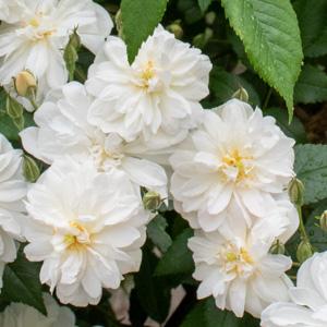 スノー・グース:びわ湖大津館イングリッシュガーデンで撮影したバラの花