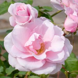 ソウシュン/早春:長居植物園で撮影したバラの花