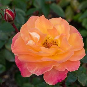 スヴニール・ドゥ・アンネ・フランク:長居植物園で撮影したバラの花