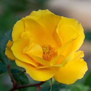 サプライズ:長居植物園で撮影したバラの花
