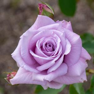 スイート・ムーン:長居植物園で撮影したバラの花