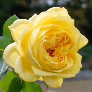 トゥールズ・ロートレック:長居植物園で撮影したバラの花