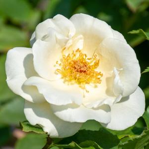 ホワイト・マジック:長居植物園で撮影したバラの花