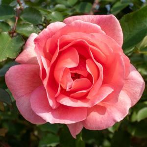 ザンブラ'93:長居植物園で撮影したバラの花