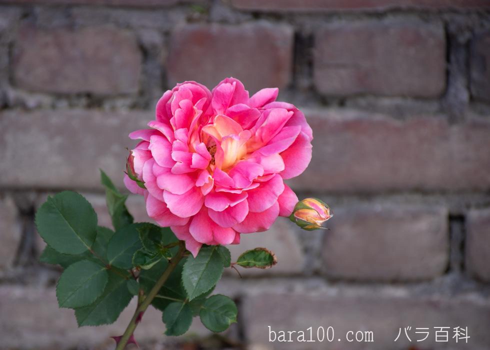 オータム:ひらかたパーク ローズガーデンで撮影したバラの花