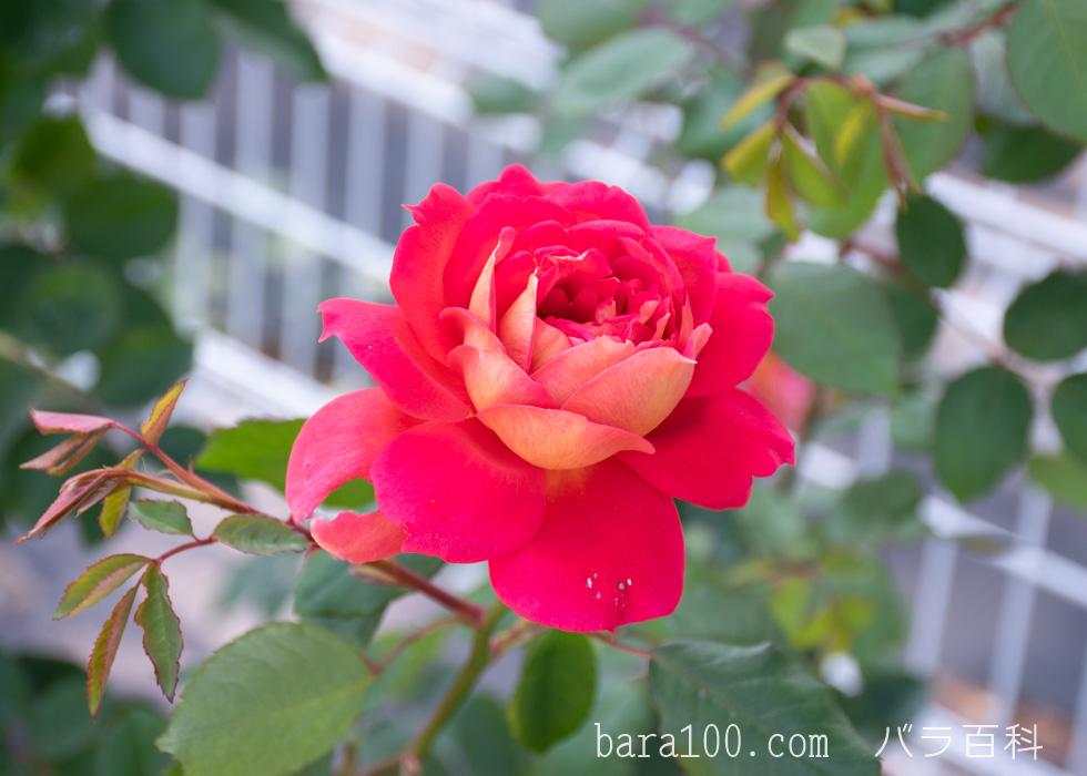 オータム:花博記念公園鶴見緑地バラ園で撮影したバラの花