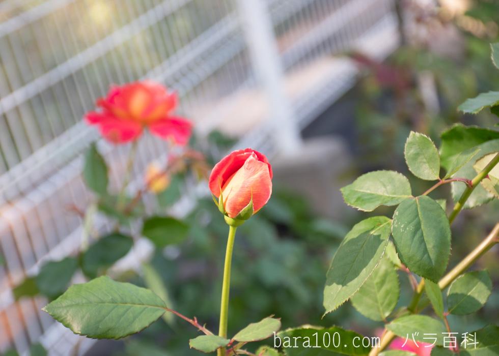 オータム:花博記念公園鶴見緑地バラ園で撮影したバラの花のつぼみ