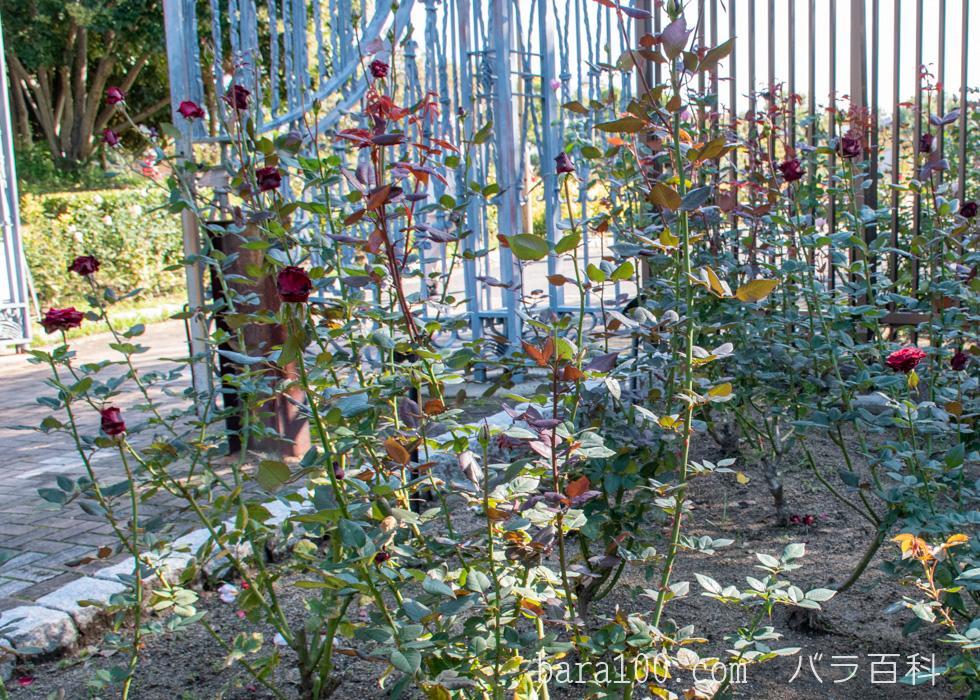 ブラック・バカラ:花博記念公園鶴見緑地で撮影したバラの木