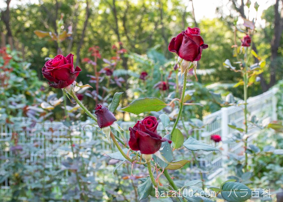 ブラック・バカラ:花博記念公園鶴見緑地で撮影したバラの花