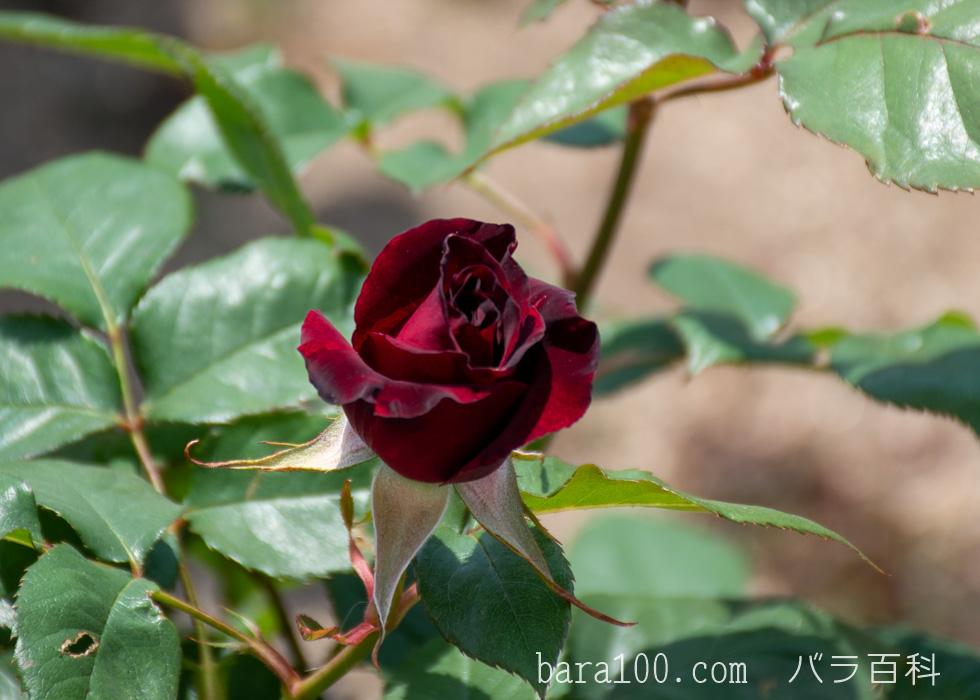 ブラック・バカラ:花博記念公園鶴見緑地バラ園で撮影したバラの花