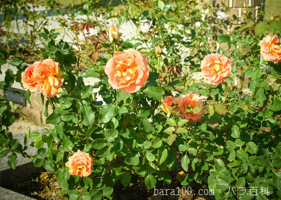 ブラス・バンド:荒巻バラ公園で撮影したバラの花