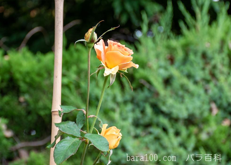 ブラス・バンド:長居植物園バラ園で撮影したバラの花