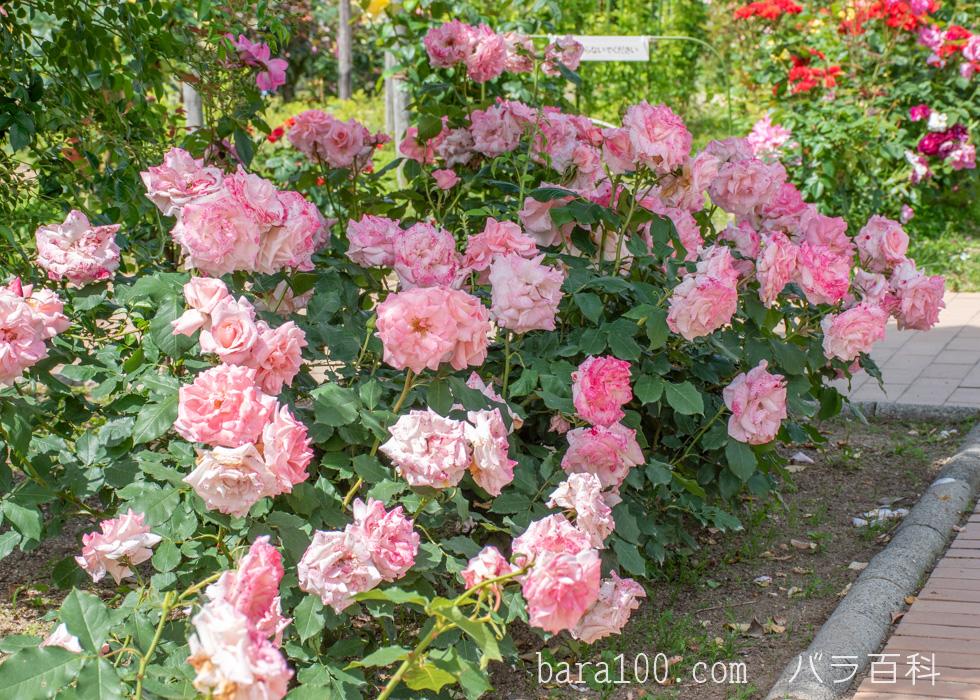 ブライダル・ピンク:庄堺公園バラ園で撮影したバラの花