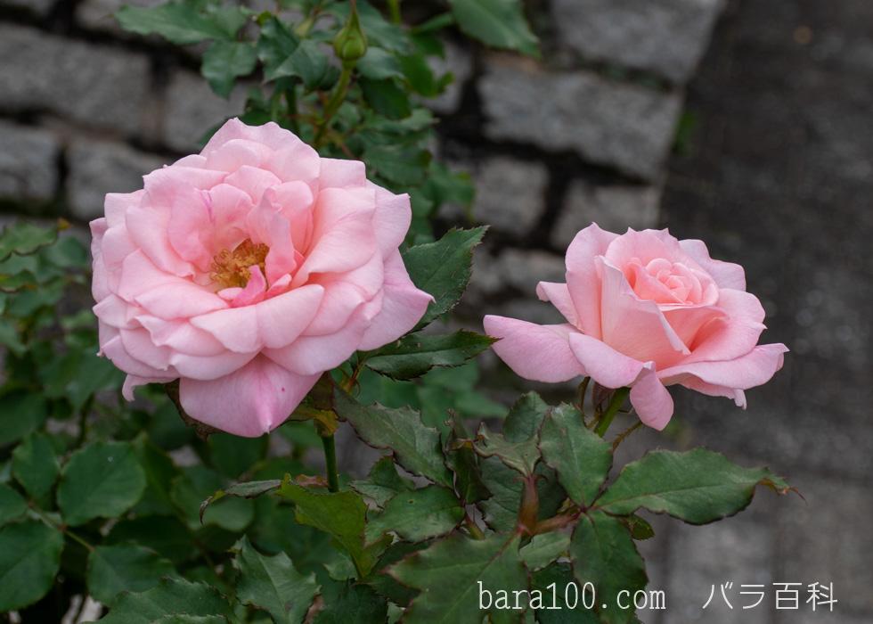ブライダル・ピンク:長居植物園バラ園で撮影したバラの花
