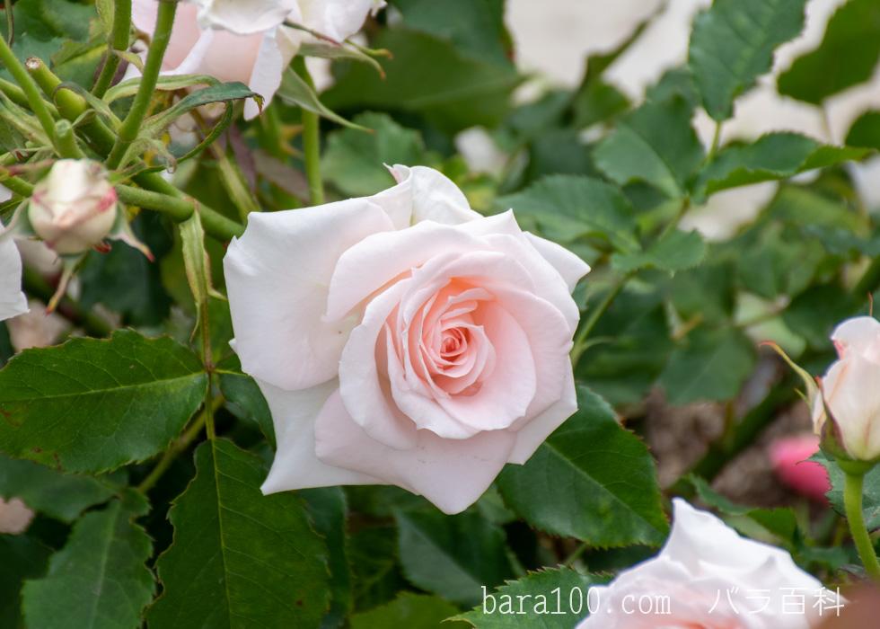 ブライダル・ピンク:湖西浄化センター バラ花壇で撮影したバラの花