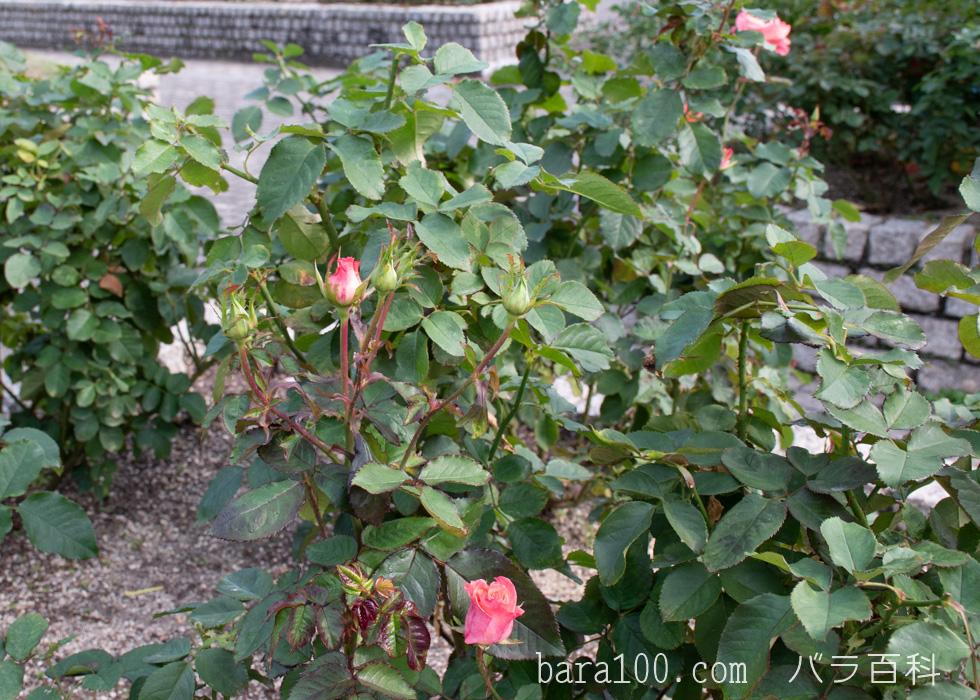 チェリッシュ:長居植物園バラ園で撮影したバラのつぼみ