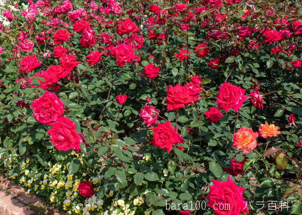 クリスチャン・ディオール:ひらかたパーク ローズガーデンで撮影したバラの花