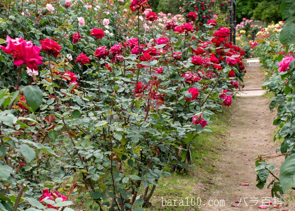 クリスチャン・ディオール:庄堺公園バラ園で撮影したバラの花