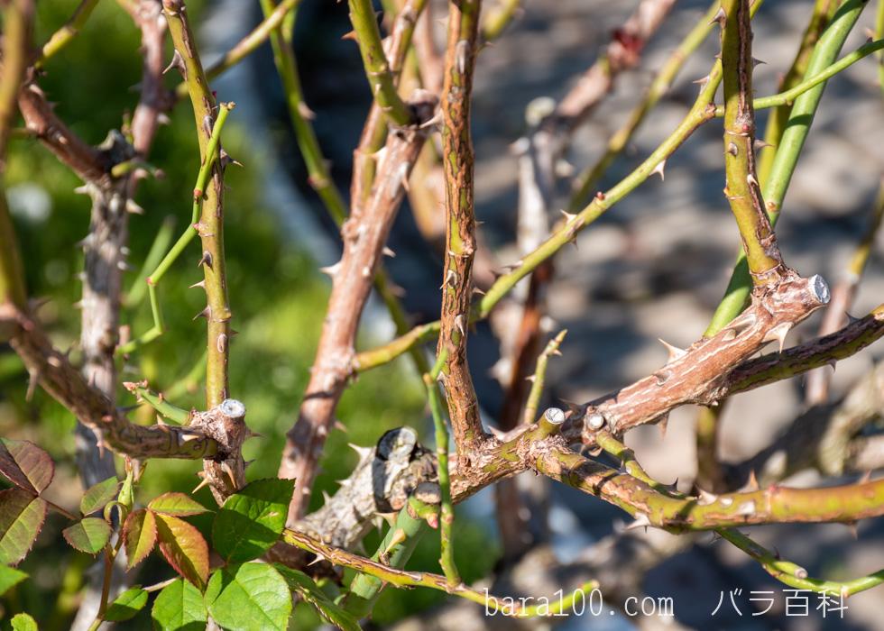 カウンティ・フェア:庄堺公園バラ園で撮影したバラの枝とトゲ