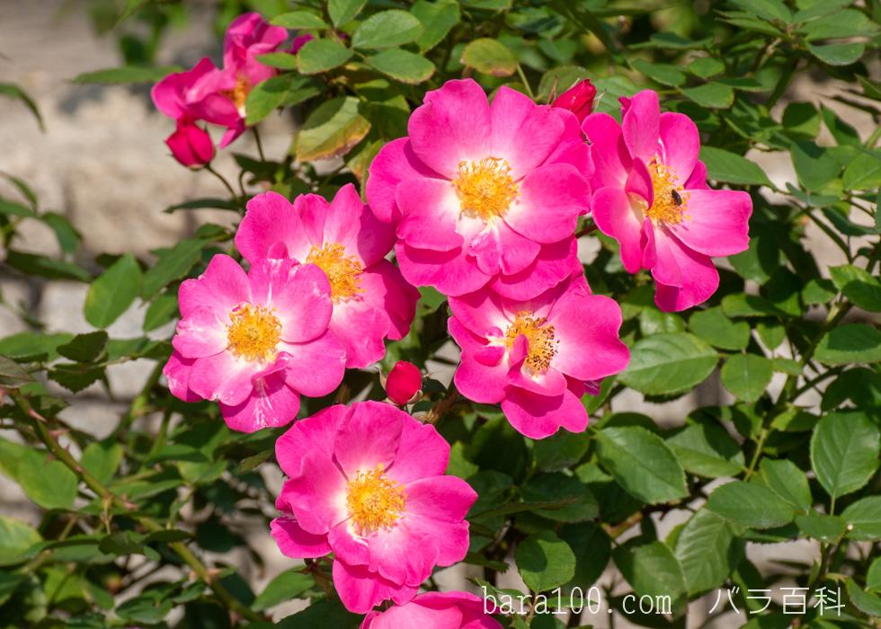 カウンティ・フェア:庄堺公園バラ園で撮影したバラの花