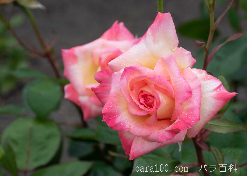 エレガント・レディ/ダイアナ、プリンセス・オブ・ウェールズ:びわ湖大津館イングリッシュガーデンで撮影したバラの花