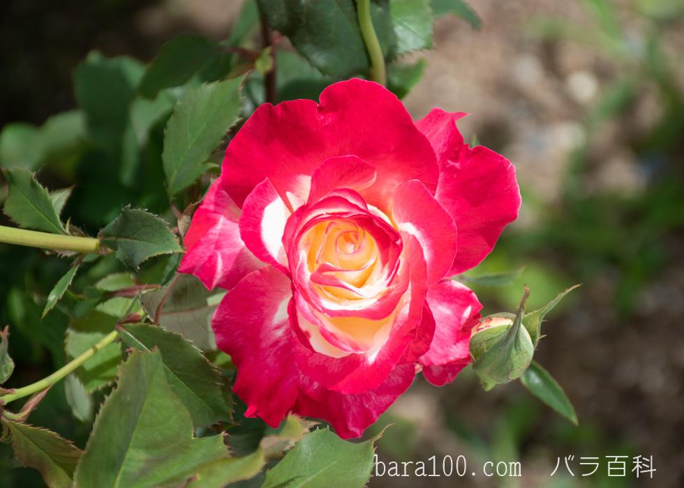 ダブル・デライト:湖西浄化センター バラ花壇で撮影したバラの花