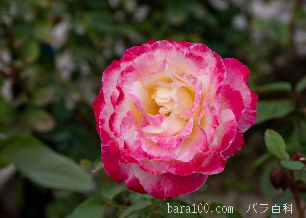 ダブル・デライト:長居植物園バラ園で撮影したバラの花