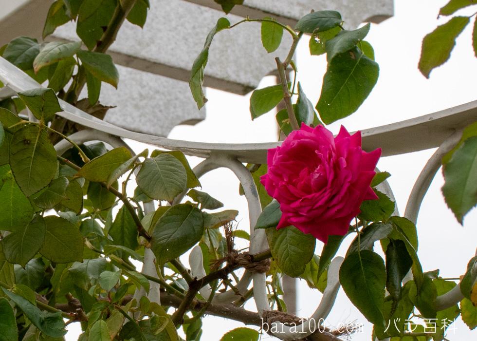 つるエデン・ローズ:長居植物園バラ園で撮影したバラの花