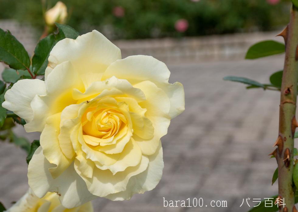 エリナ:長居植物園バラ園で撮影したバラの花