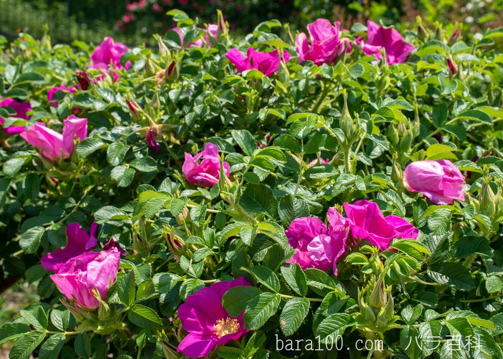 ハマナス/ハマナシ:花博記念公園鶴見緑地バラ園で撮影したバラの花