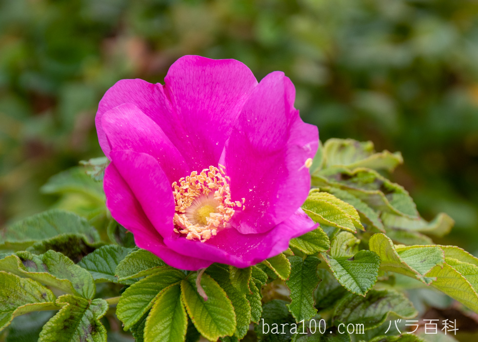ハマナス/ハマナシ:長居植物園バラ園で撮影したバラの花