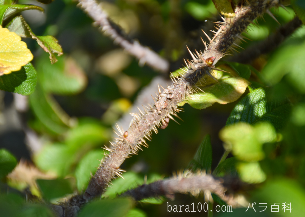 ハマナス/ハマナシ:荒巻バラ公園で撮影したバラのトゲ