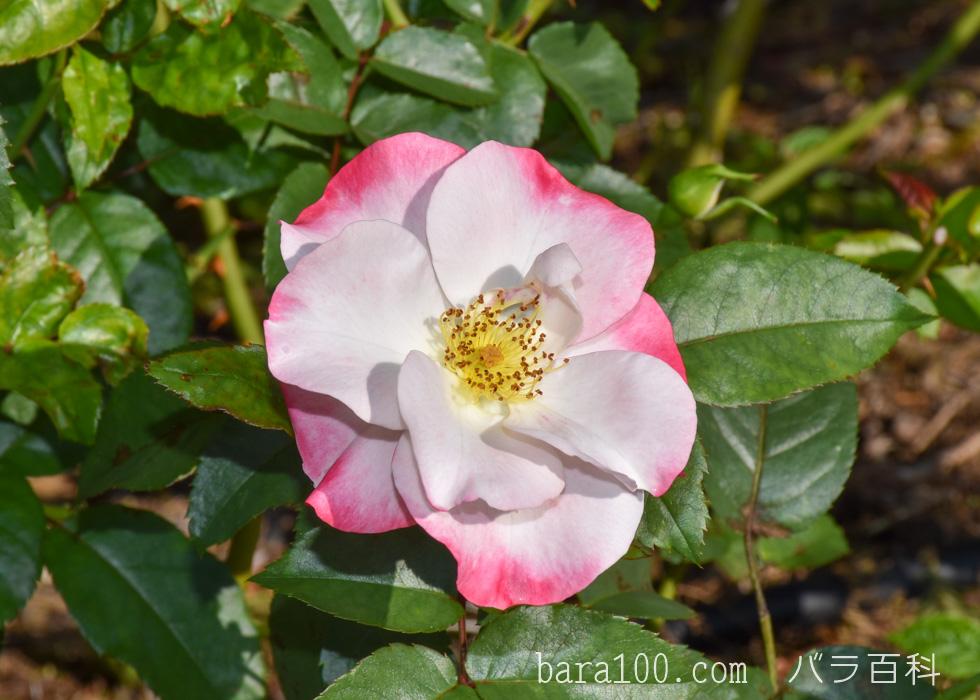 花霞(ハナガスミ):荒巻バラ公園で撮影したバラの花