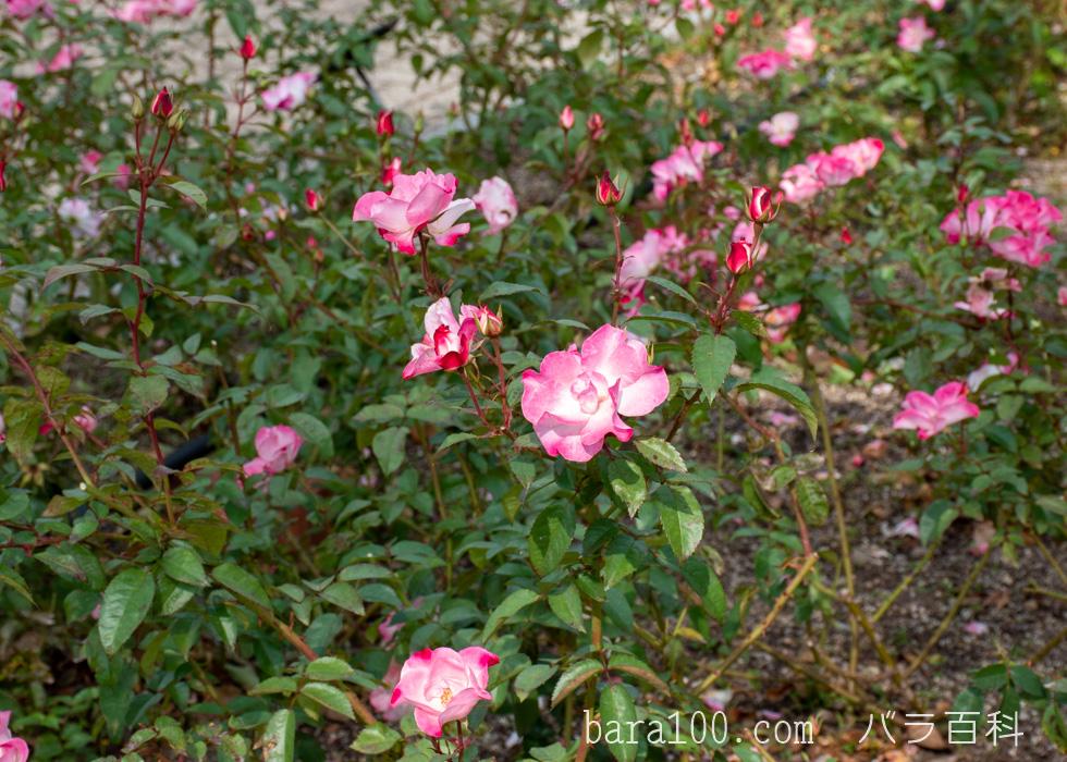 花霞(ハナガスミ):長居植物園バラ園で撮影したバラの花