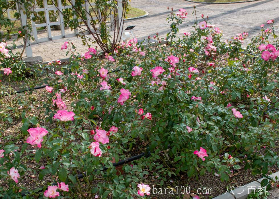 花霞(ハナガスミ):長居植物園バラ園で撮影したバラの木