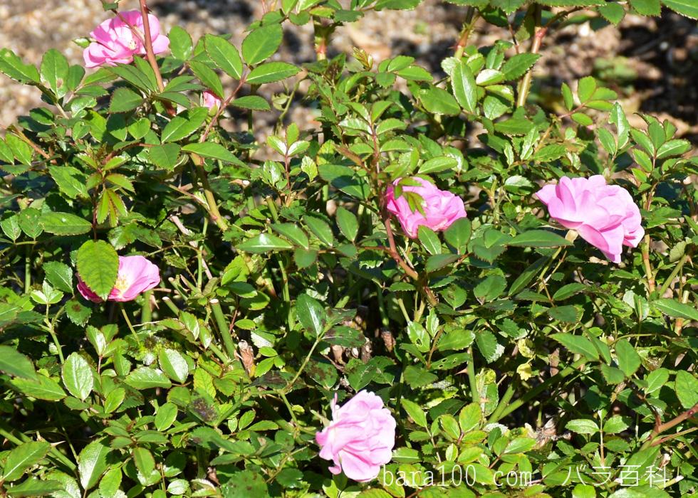花冠(ハナカンムリ):荒巻バラ公園で撮影したバラの花
