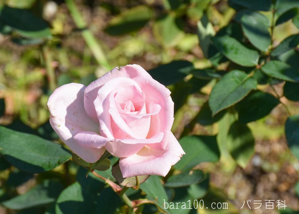 花嫁(ハナヨメ):花博記念公園鶴見緑地バラ園で撮影したバラの花