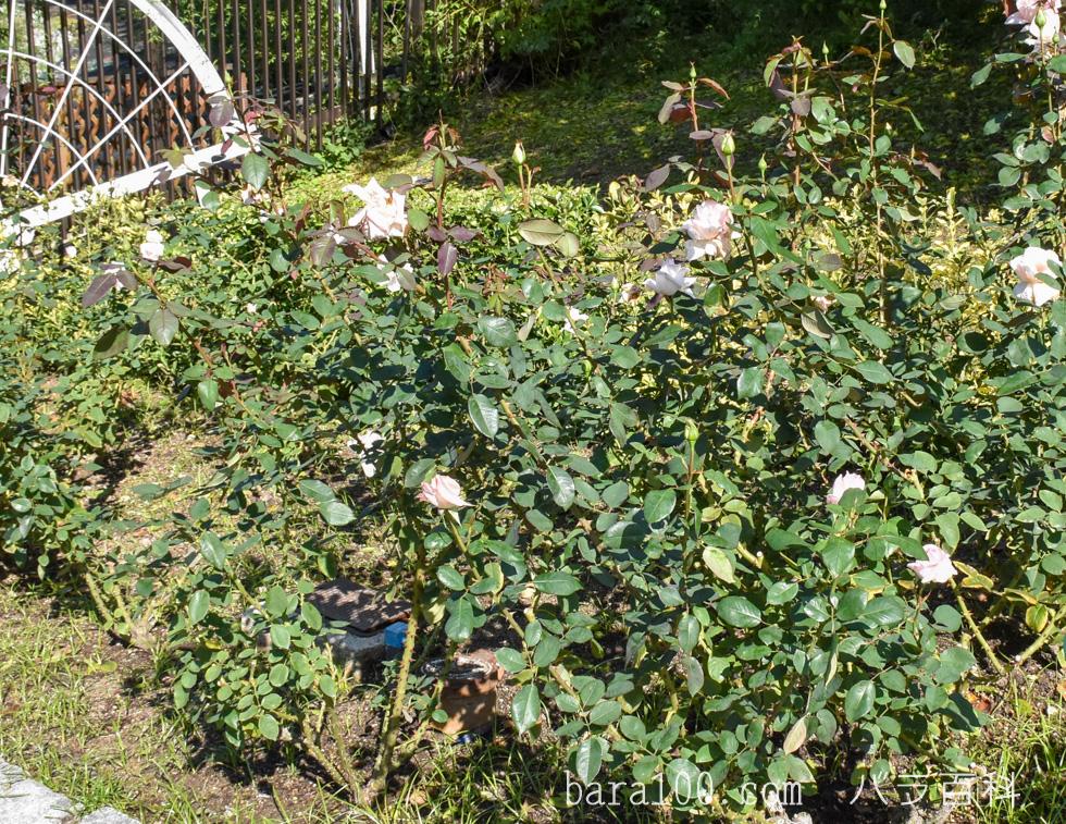 花嫁(ハナヨメ):花博記念公園鶴見緑地バラ園で撮影したバラの木