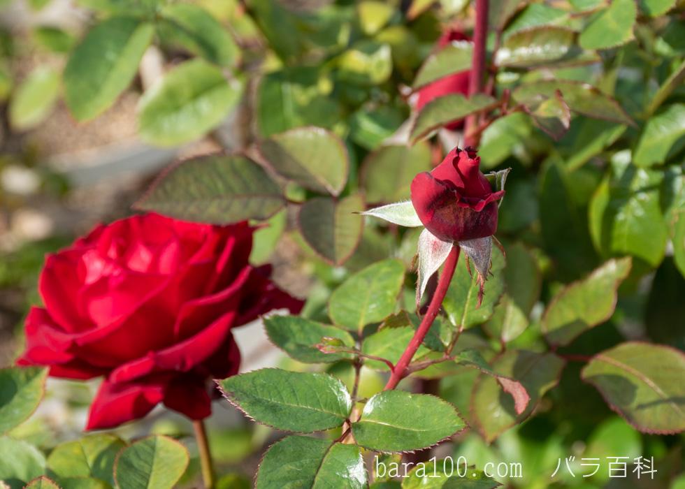イングリッド・バーグマン:長居植物園バラ園で撮影したバラの花