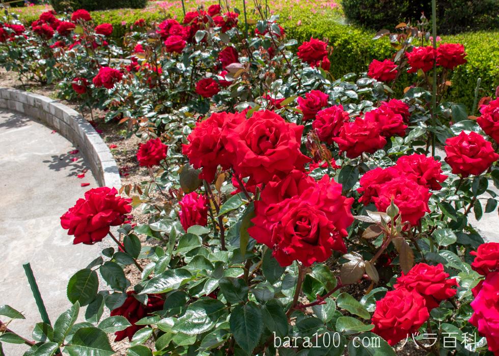 イングリッド・バーグマン:湖西浄化センター バラ花壇で撮影したバラの花