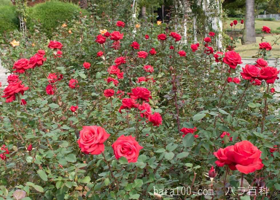 カーディナル:長居植物園バラ園で撮影したバラの花